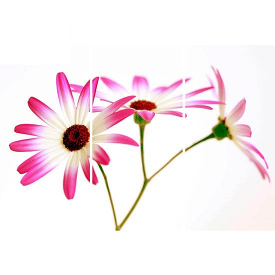 Pink Daisy Triptych Wall Art