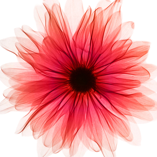 Red Xray Gerbera 002154 - Wall Arts Centre, Making a Room Special